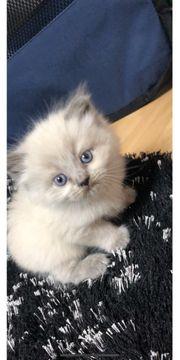 Britisch Kurzhaar Langhaar Kitten Fold