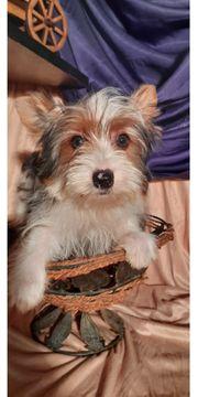 Biewer Yorkshire Terrier Welpen