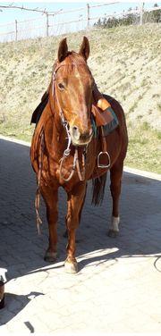 Biete Reitbeteiligung auf Quarter Horse