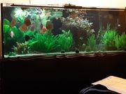 Aquarium oder nur Diskus