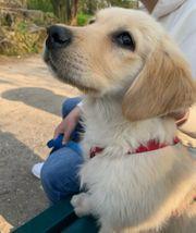 5 Monate Alter Golden Retriever -