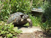Maurisches Weibchen Landschildkröte NZ 2009