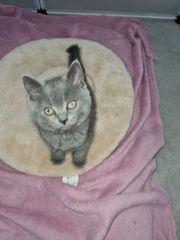 BKH Kitten JUNGE