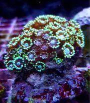 Meerwasser LPS Korallen Goniopora Alveopora