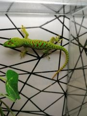 Verschiedene Reptilien Taggeckos Phelsuma Lepidodactylus