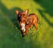 Yorkshire Terrier Schoko Mädchen