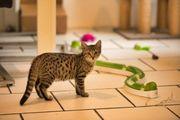 Bengal Mix Kitten 15 Wochen