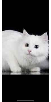 SUCHE weiße weibliche Babykatze Kitte