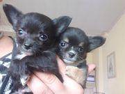 Chihuahua Welpen langhaar kleinbleibend wird