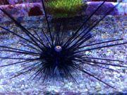 Meerwasser Diadem-Seeigel 10cm