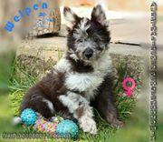 Temperamentvolle Australian Shepherd x Schäferhund