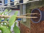 Kiwi Pflanze