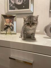 BKH Katze Babykatze