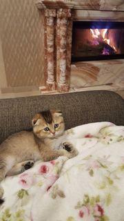 Scottish Fold männlich Katze Kitten