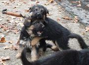Reinrassige deutsche Schäferhund Welpen zu