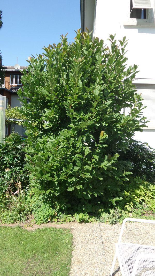 Magnolienbaum Magnolie Baum - weiss -10