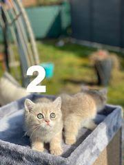 BKH Kitten blue golden shaded