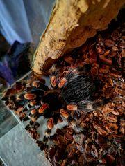 Vogelspinne mit Terrarium