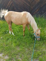 Quarter Horse Jährlings Stute Palomino