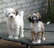 Tibet Terrier Welpen - Rüden