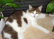Laila 15 Jahre - Europäische Hauskatze -