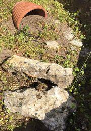 Griechische Landschildkröten Nachwuchs 2018