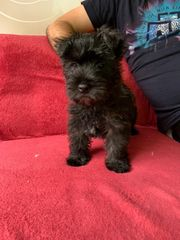Westie Cairn Terrier Mischung