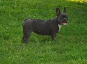 Französische Bulldog 6 Monate Hündin