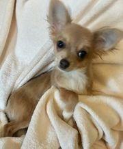Chihuahua Langhaar Welpe Mädel