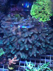Meerwasser Seriatopora Caliendrum