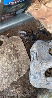 Skorpion Thaiskorpion Heterometrus Petersi