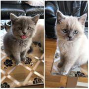 8 süsse BKH Kitten