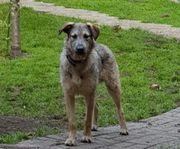 WOOKIE- junger Terrier Mix sucht