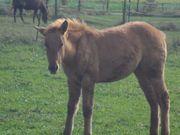Liebe Quarter Horse Jungstute aus