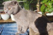 BKH sehr junge Katze sucht