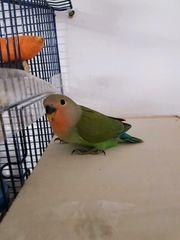 pirisischkpfchen papagei
