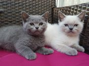 BKH Kitten ab sofort mitnehmen