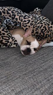 Französische Bulldogge Welpe Dringend