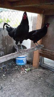 La flech Französischen Hühner