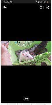 Zwei ratten Weibchen suchen dringend