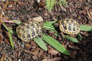 Griechische Landschildkröten eigene Nachzucht