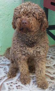 Zeus - spanischer Wasserhund aus dem
