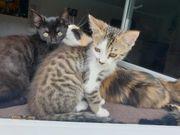 Mischlingskatzen 4 Monate alt
