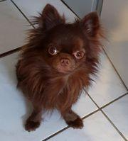 Chihuahua Rüde langhaar mit FCI