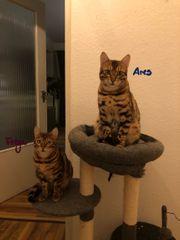 2 Bengalkatzen-Jungtiere m w Geschwister