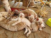 Snow Bengalen Kitten suchen ihr