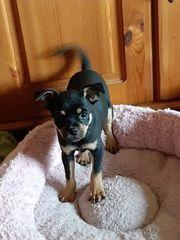 Chihuahua Mops Welpen