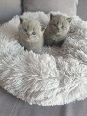 Die letzten zwei bkh kitten