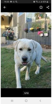 Labrador -Retriever Labradorrüde zum Decken