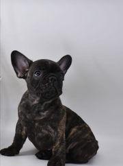 Süße Französische Bulldogge Welpen suchen